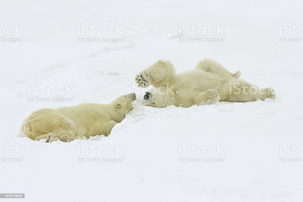 Two polar bears relax in Canadian arctic snow storm royalty-free stock photo