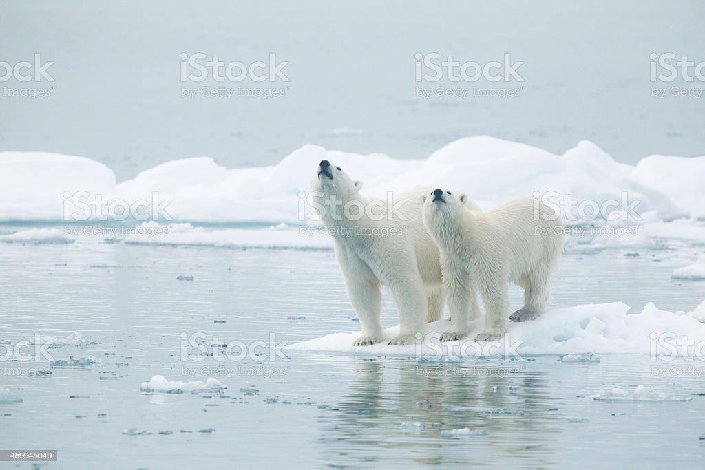 Two polar bears standing on an ice floe stock photo