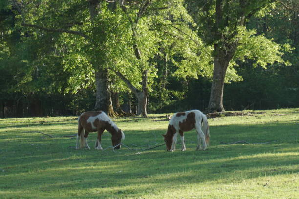 Two Ponies on a farm grazing in Florida stock photo