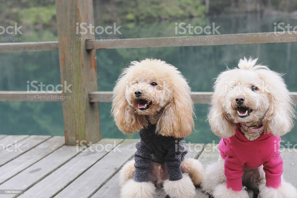 Two poodle dog standing royalty-free stock photo