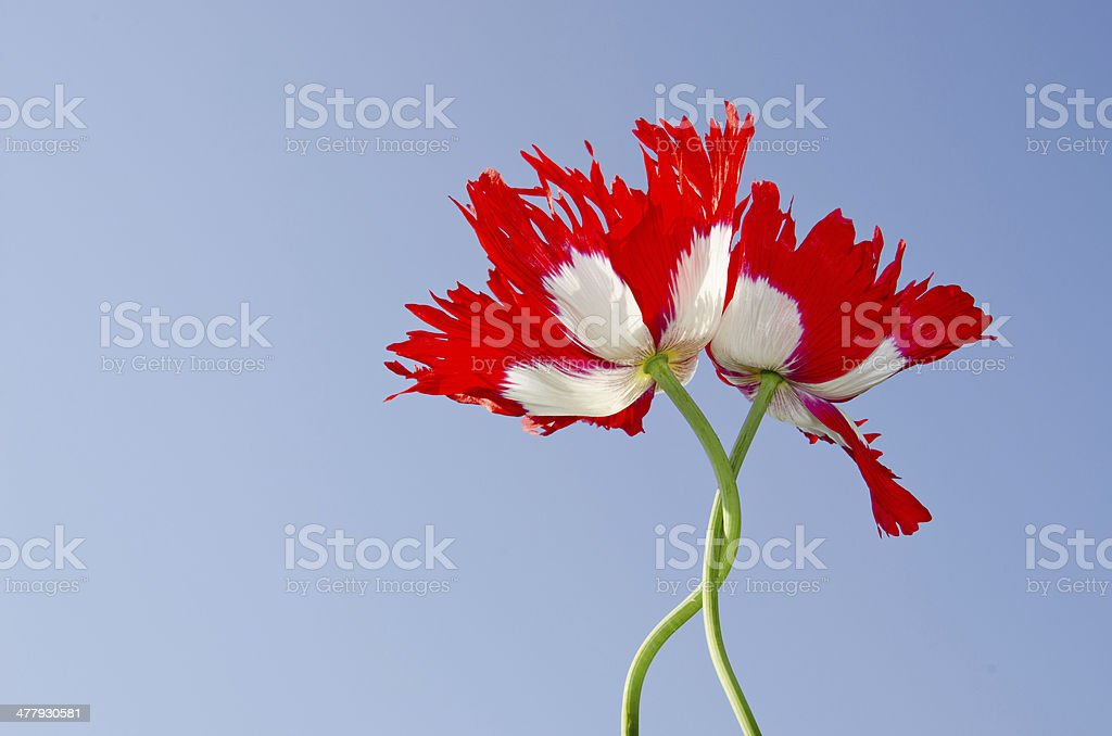 two poppy on sky background royalty-free stock photo
