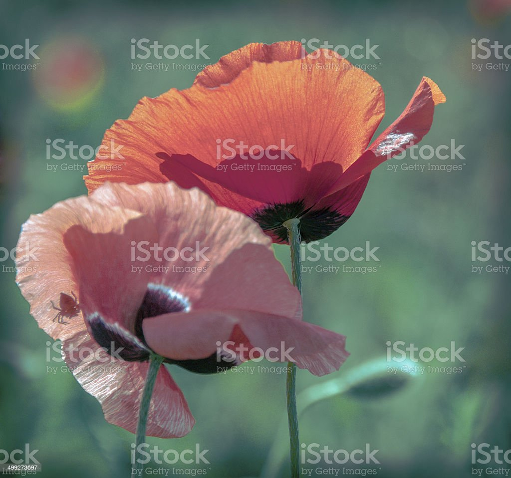 Two poppy - Royalty-free Agricultural Field Stock Photo