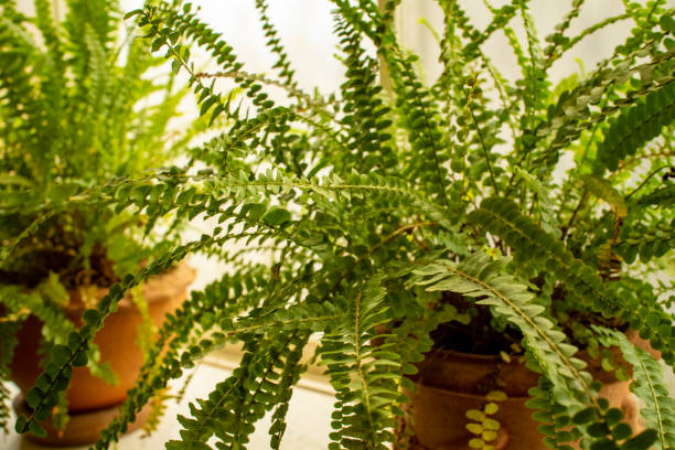 Two pots of fern plants at a window 2 Two terracota pots of fern plants at a bathroom window with natural light. japanese fern stock pictures, royalty-free photos & images