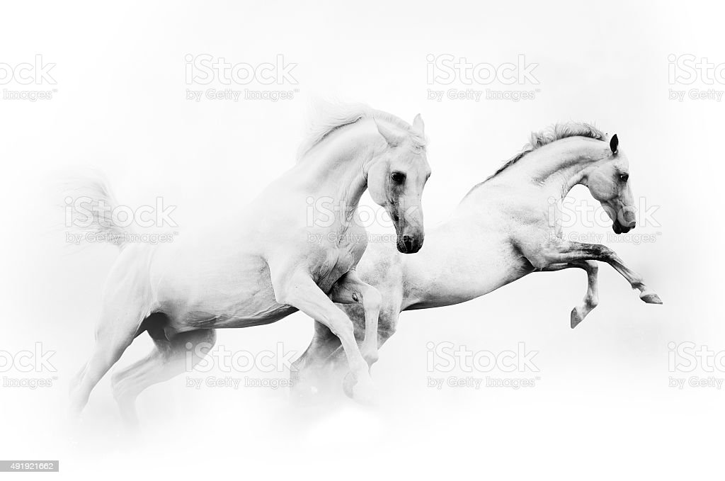 Two Powerful White Horses Stock Photo Download Image Now Istock