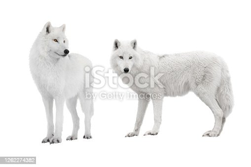 istock two ppolar wolf isolated on a white 1262274382