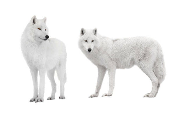 two ppolar wolf isolated on a white - lupo foto e immagini stock