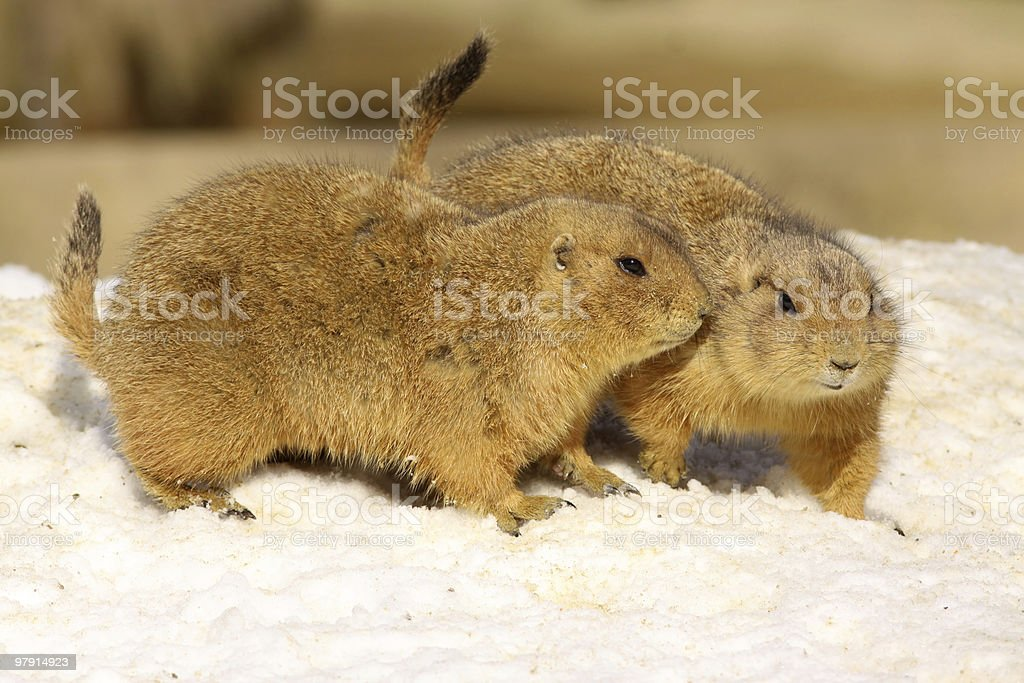 Two prairie dogs (Cynomys ludovicianus) in the snow royalty-free stock photo