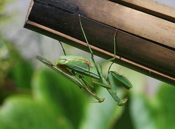 Two praying mantis mating