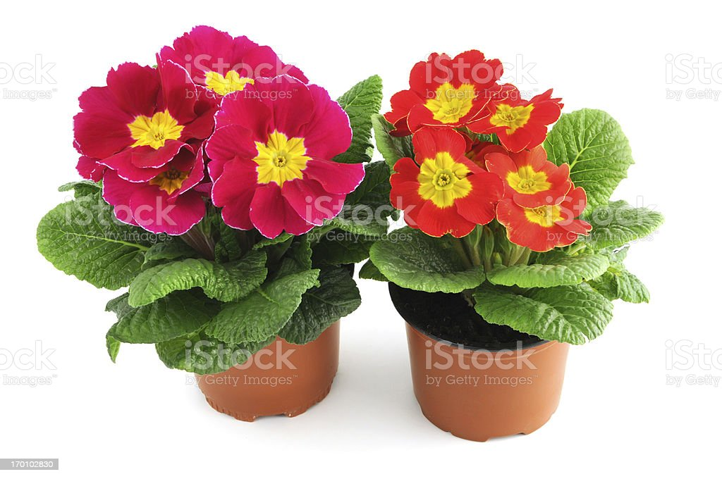 two Primrose (Primula) in flowerpot white background royalty-free stock photo