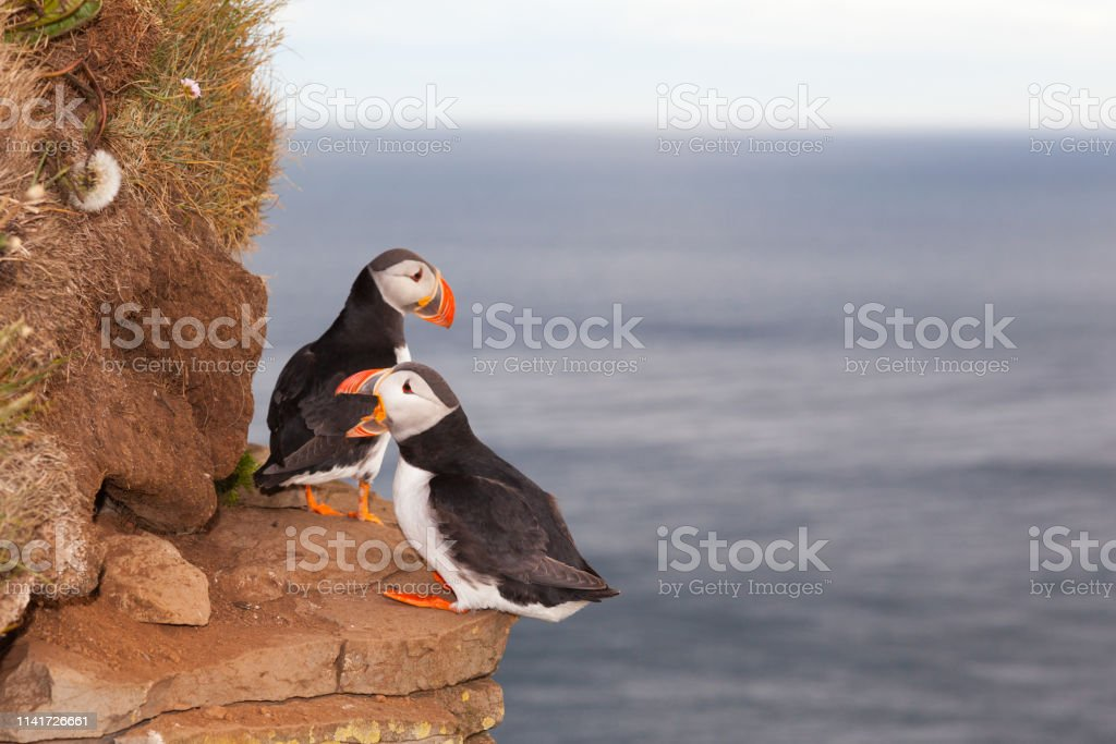 two puffin birds against sea in Iceland. Bird cliff Latrabjarg