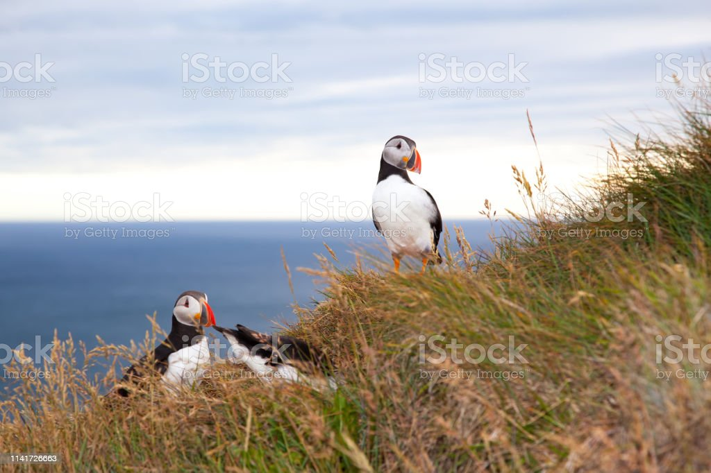 two puffin birds against sea at sunset in Iceland. Bird cliff...