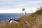 two puffin birds  against sea  at sunset  in Iceland. Bird cliff  Latrabjarg