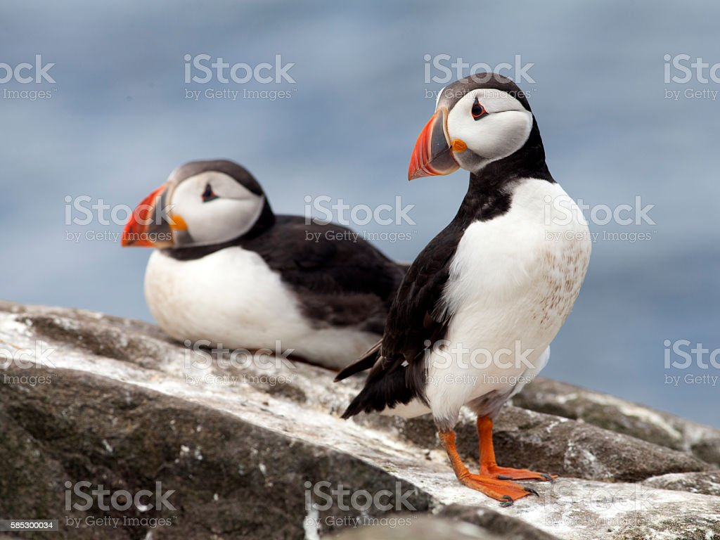 Two Puffins on the Farne Islands, Northumberland stock photo