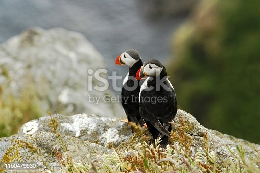 Two puffins sitting on cliff, bird in nesting colony, arctic black and white cute bird with colouful beak, bird on rock, green background, Norway, beautiful funny bird on rock