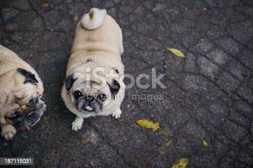 Two pugs walking in autumn park after rain