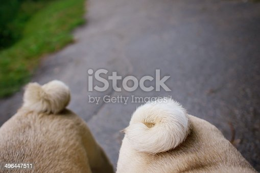 Two pugs walking in autumn park after rain. On photo are pug's backsides with tails. Copy space.