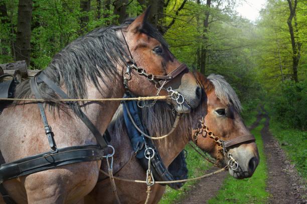 zwei Zugpferde im Wald – Foto