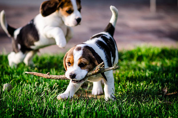 two puppies beagle playing with a branch in the garden foto