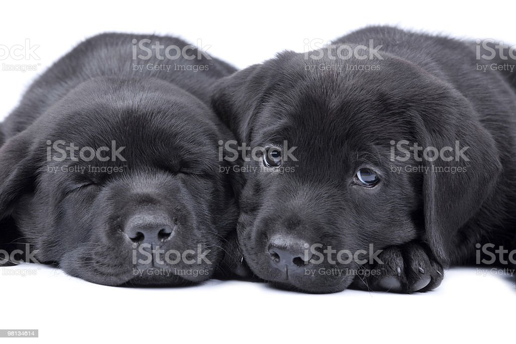 Two puppies black labrador retriever, one sleeps, another looks royalty-free stock photo