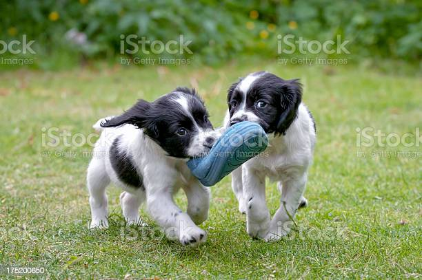 Two puppies carrying a shoe together symbolizing teamwork picture id175200650?b=1&k=6&m=175200650&s=612x612&h=uu46ses7wjggef3lf4dmhaxhypsqisctuzd9gjnb8ls=