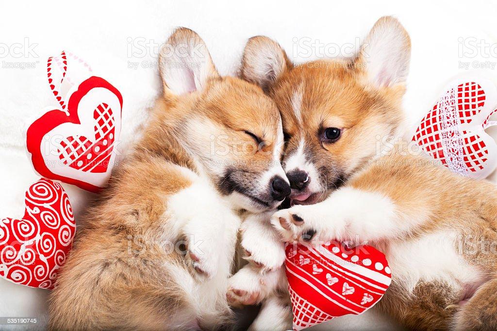 two puppies corgi stock photo