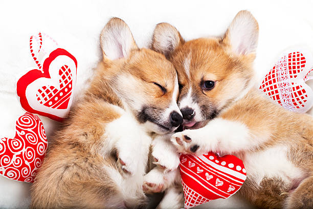 two puppies corgi two puppies sleep in each other's arms animal valentine stock pictures, royalty-free photos & images
