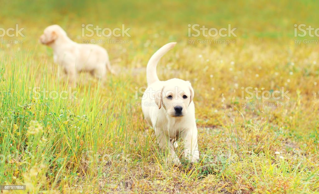 Two puppies dogs Labrador Retriever is running together outdoors on the grass foto stock royalty-free