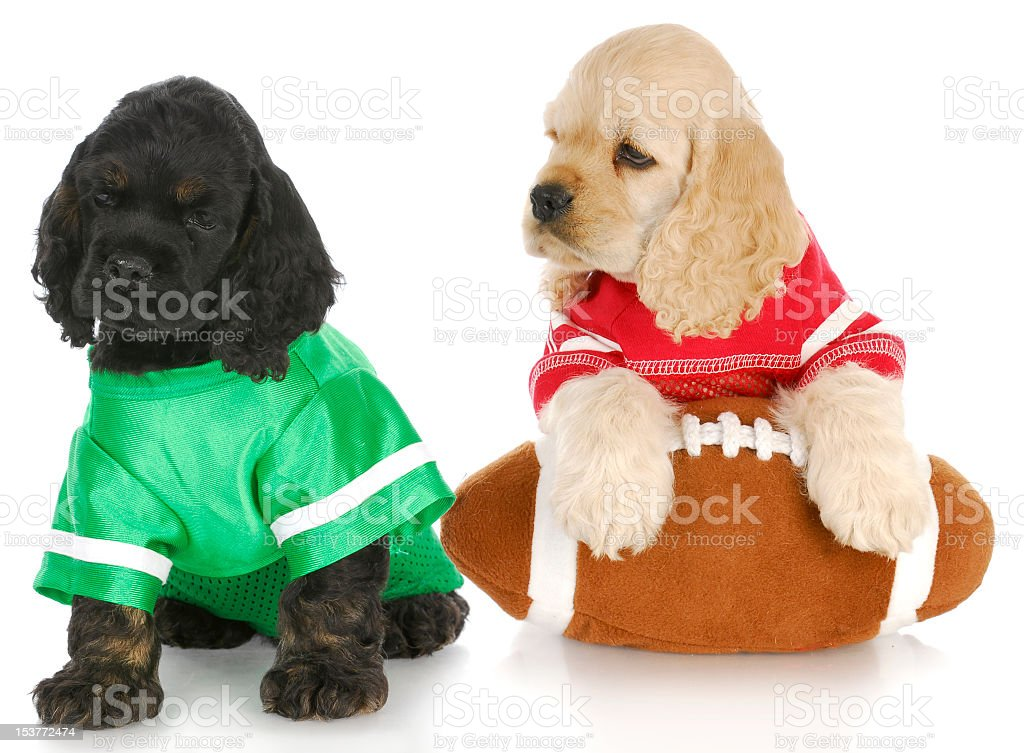 Two puppies dressed in football jerseys holding a football stock photo