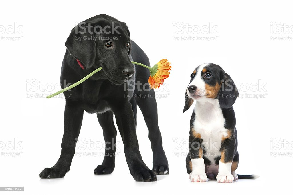 Two puppies in love royalty-free stock photo