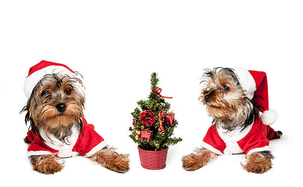 Two puppies in red santa hats picture id623093092?b=1&k=6&m=623093092&s=612x612&w=0&h=cyuwn24va73iwvtz86dz6ho9pbdggtys7 5au3yew0k=