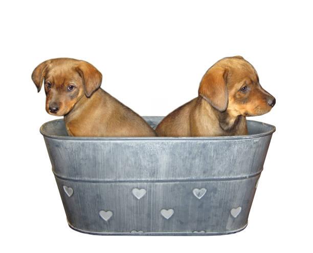 two puppies in washtub - bacinella metallica foto e immagini stock
