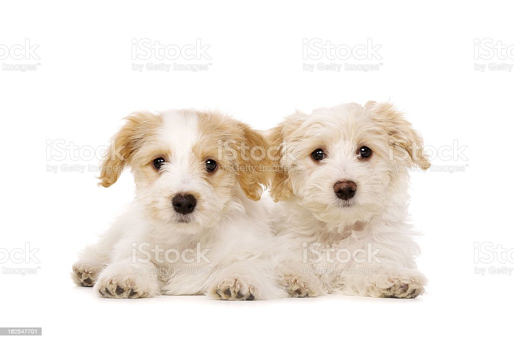 Two puppies laid isolated on a white background stock photo