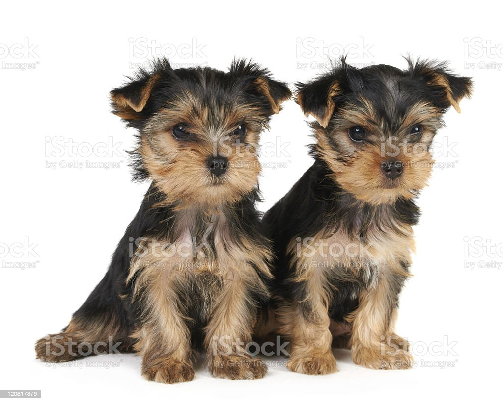 Two puppies of the Yorkshire Terrier royalty-free stock photo