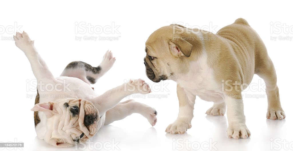 Two Puppies Playing On A White Background Stock Photo