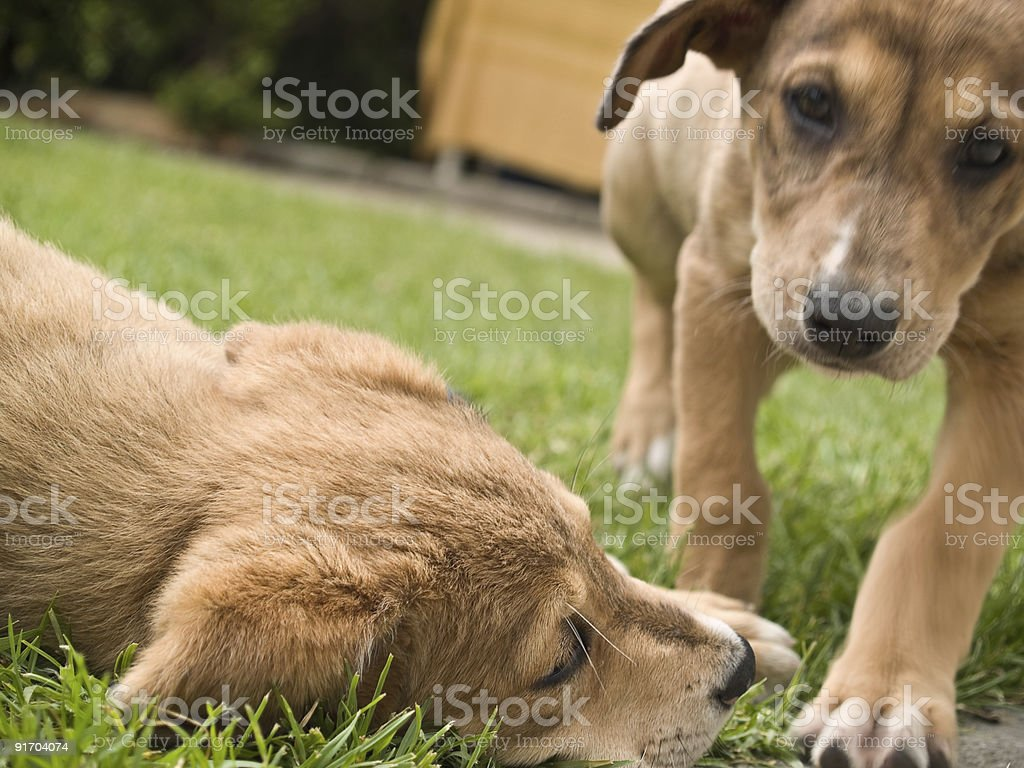 Two puppies playing royalty-free stock photo