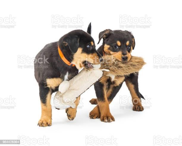 Two puppies playing with stuffed toy picture id954428364?b=1&k=6&m=954428364&s=612x612&h=qbdjmiplnk3omdzzykbgpnkd23dk qqhmp uwnhx7pq=