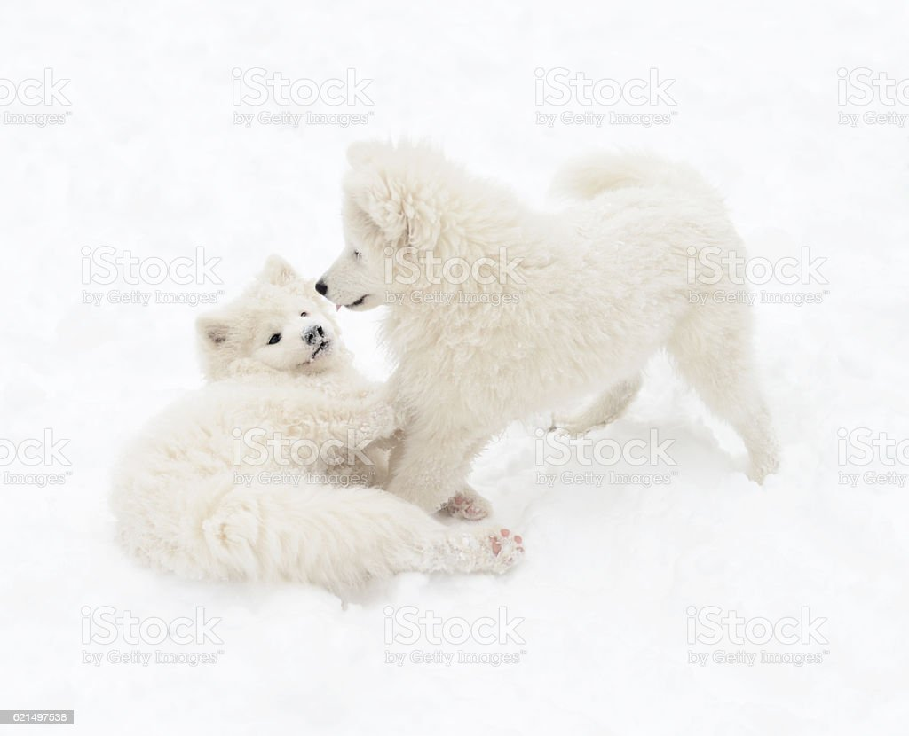 two puppies Samoyed dog playing in the snow Lizenzfreies stock-foto