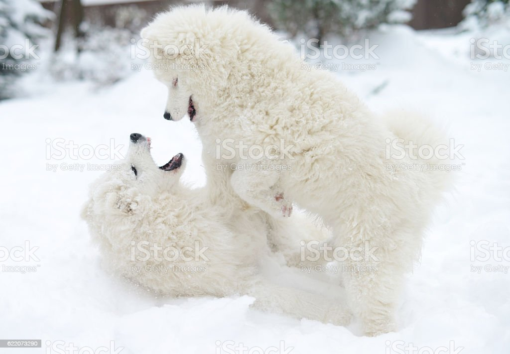 Two Puppies Samoyed Dog Playing In The Snow Stock Photo & More ...