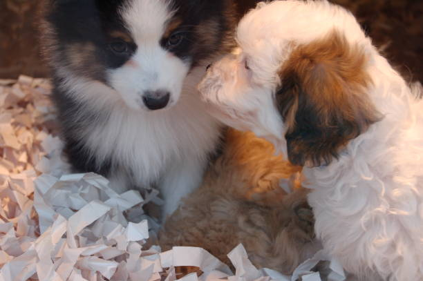 two puppies sniffing noses - pet shop and dogs not cats stock pictures, royalty-free photos & images