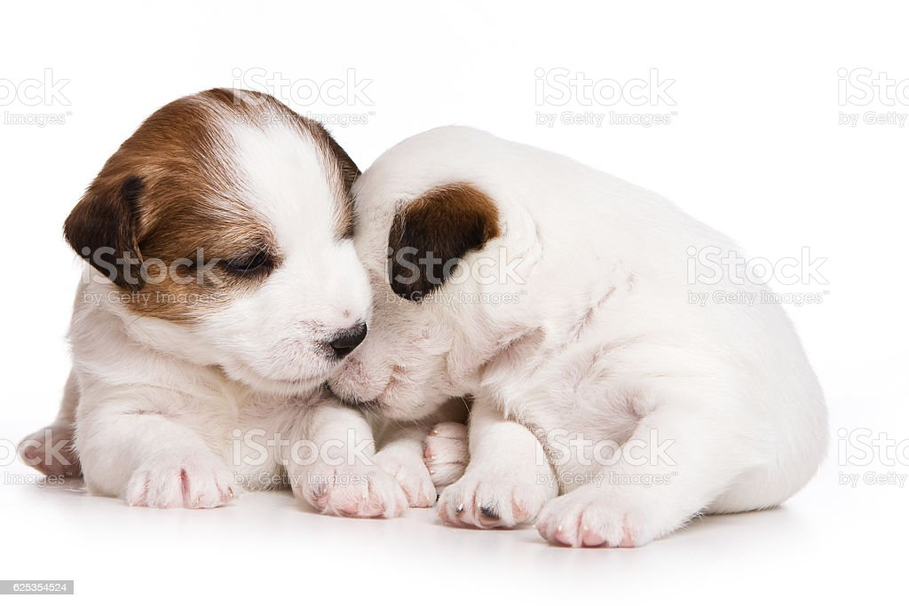 Two puppy dog Jack Russell Terrier (isolated on white) stock photo