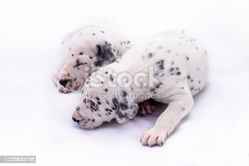 Two puppy dogs of the Dalmata breed on white background. Precious animals.