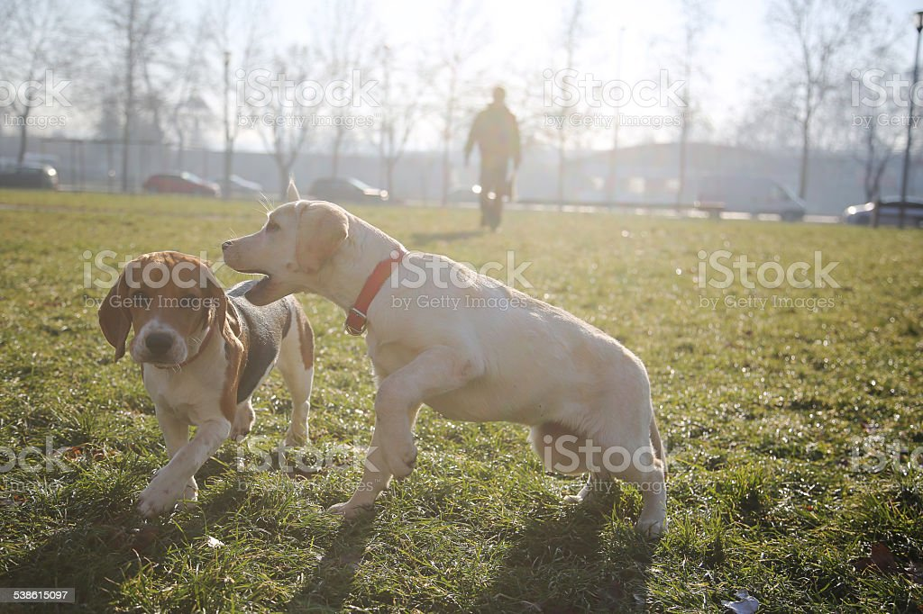 Two puppy playing running on green field stock photo