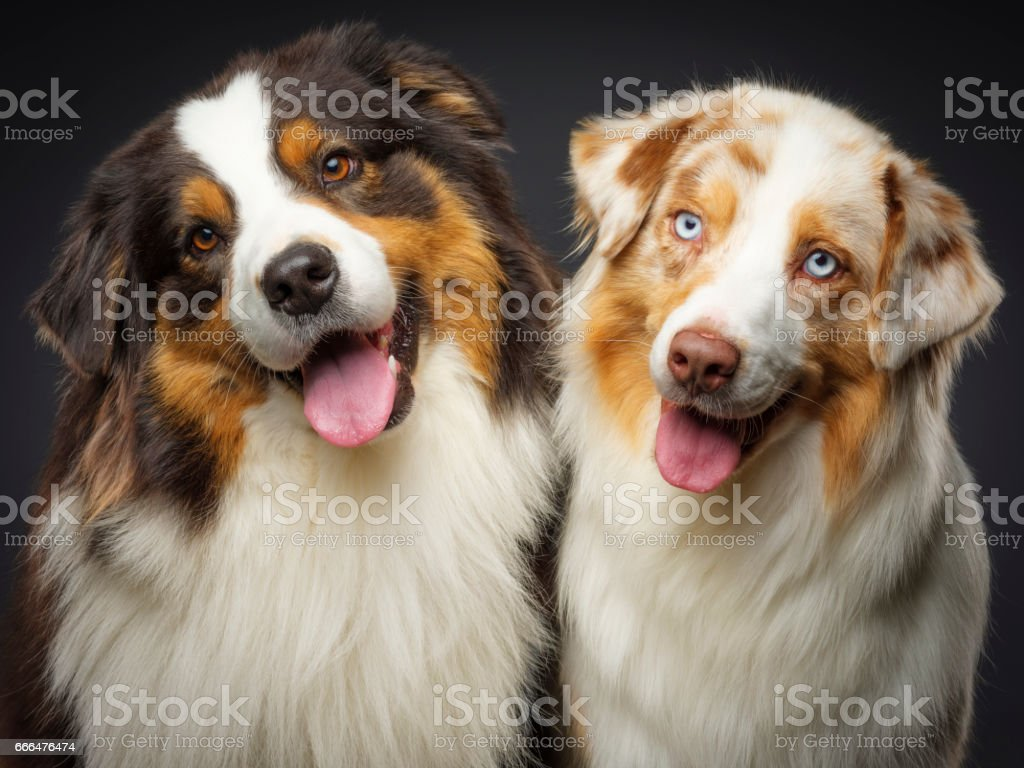Two Purebred Australian Shepherd Dogs stock photo