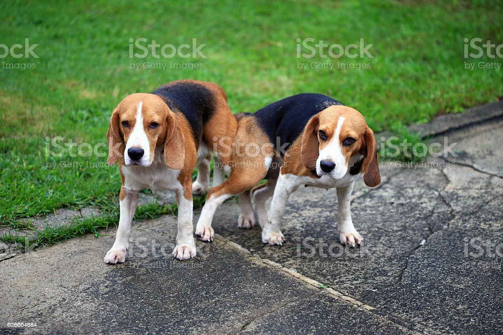 Most Inspiring Two Beagle Adorable Dog - two-purebred-beagle-dog-making-love-in-a-garden-picture-id628664884  Trends_611568  .com/photos/two-purebred-beagle-dog-making-love-in-a-garden-picture-id628664884