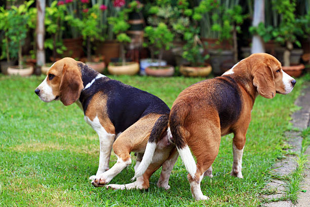 Royalty free dog mating pictures images and stock photos istock - Imagenes de animales apareandose ...