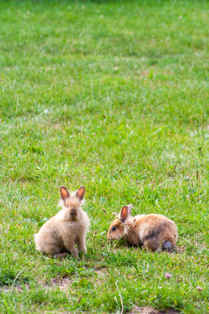 Two purebred rabbits eating grass in a meadow picture id1056265786?b=1&k=6&m=1056265786&s=612x612&w=0&h=lq1b74ypjucpmha2psjw5kvewhxgwm7wyio3agydwjs=