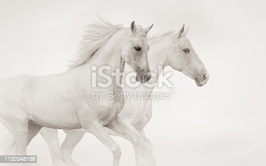 Two purebred stallions running gallop running together in monochrome tones