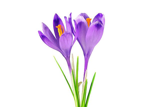 two purple crocuses, isolated on white - saffron on white bildbanksfoton och bilder