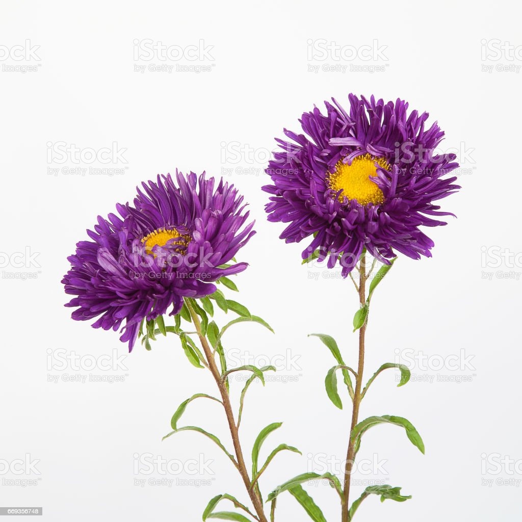 Two purple flowers asters stock photo