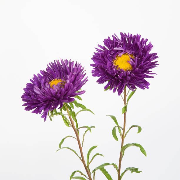 Zwei Blumen lila Astern – Foto